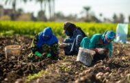 تماشياً مع خطتها العالمية للزراعة الإيجابية بيبسيكو تعمل على تمكين القطاع الزراعي المصري