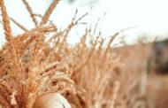 قشور السيليوم المكمل الأول لتقليل الشهية وخسارة الوزن